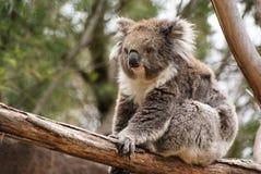 Koala bear. Sitting on log royalty free stock photos