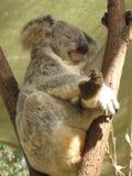 Koala Bear Stock Photo