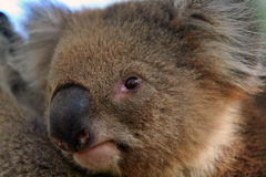 Koala bear. Portrait of a Koala bear Royalty Free Stock Images