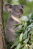 Koala Bear. In tree stock photo