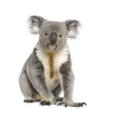 Koala bear againts white background. Portrait of male Koala bear, Phascolarctos cinereus, 3 years old, in front of white background, studio shot stock image