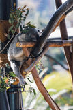 Koala Bear. Animal in San Diego Zoo Royalty Free Stock Photography