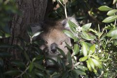 Koala bear is an arboreal herbivorous marsupial native. Koala resident in Melbourne, Australia stock photos