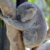 The koala bear. Is an arboreal herbivorous marsupial native to Australia. It is the only extant representative of the family Phascolarctidae and its closest stock photo