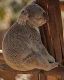 Koala Bear Asleep in the San Diego Zoo Royalty Free Stock Images