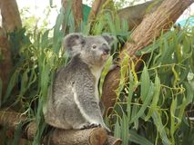 Koala Stock Photos