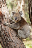 Koala bear Australia stock photos