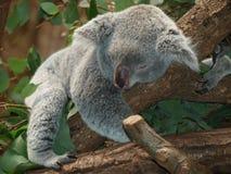 Koala Bear, Australia, Teddy, Sleep Royalty Free Stock Images