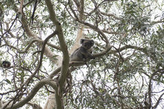 Koala bear, Australia Stock Photo