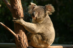 Koala bear. Australia wildlife zoo cute cuddly eucalyptus fluffy ears claws big nose Stock Photo