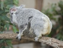 Koala bear Australian adult female with baby Royalty Free Stock Photography