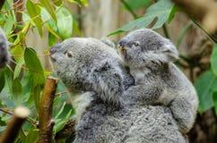 Koala Bear With Baby on Back Stock Photography