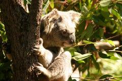 Koala bear. Bear claw australia eucalyptus fluffy ears cuddles stree bark climb hold tight Royalty Free Stock Images