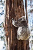 Koala bear climbing up the tree in Australia Royalty Free Stock Images