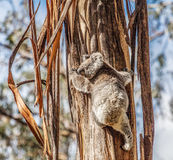 Koala bear climbing up the tree in Australia Stock Image