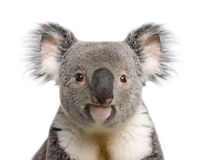 Koala bear close-up againts white background. Portrait of male Koala bear, Phascolarctos cinereus, 3 years old, in front of white background, studio shot royalty free stock photos