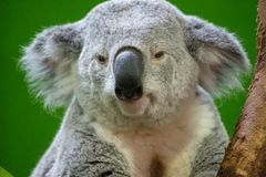 Koala Bear Close up royalty free stock image