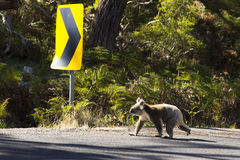 Koala bear cross the road in forest royalty free stock photography