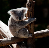 Koala Bear cuddling on a branch Stock Image