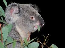 Koala bear eating eucalyptus leaves. Cute koala enjoying a favorite snack of eucalyptus stock photography