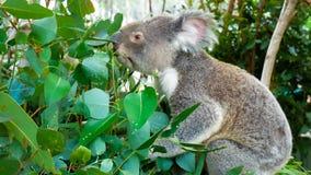 Koala bear eating green fresh eucalyptus leaves, Australia. Cute koala bear eating green fresh eucalyptus leaves, Australia stock video footage
