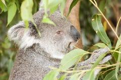 Koala Bear eating Stock Images