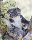Koala Bear and Eucalyptus Tree. Koala Bear in a eucalyptus tree Royalty Free Stock Image