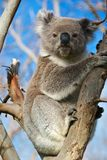 Koala Bear royalty free stock image