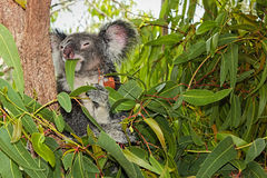 Koala bear feeding stock photography