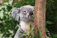 Koala Bear feeding in a tree Stock Photography