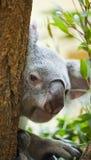 Koala bear in forest Royalty Free Stock Image