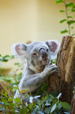 Koala bear in forest Royalty Free Stock Images