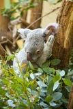 Koala bear in forest royalty free stock photography
