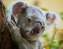 Koala bear in forest royalty free stock photo