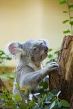 Koala bear in forest stock image