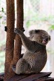 Koala bear in forest zoo royalty free stock photos
