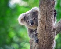 Koala bear in forest zoo. Koala bear on a Tree in a wildlife park royalty free stock images