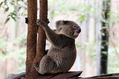 Koala bear in forest zoo stock photography