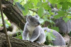 Koala Bear on Grey Wood Trunk on Daytime Royalty Free Stock Photo
