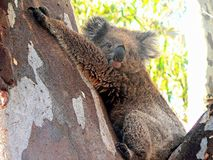Koala Bear in a Gum Tree Royalty Free Stock Photography