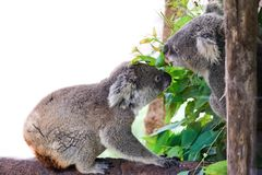 Koala bear with her baby or joey in eucalyptus royalty free stock images