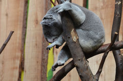 Koala Bear with His Toes Curled Sitting in a Tree Stock Photos