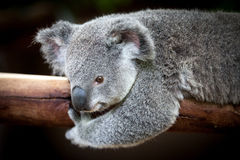 Koala bear holding on to a branch with black background Royalty Free Stock Images