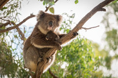 Koala bear with its baby Royalty Free Stock Images