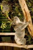 Koala Bear with Joey on a eucalyptus tree royalty free stock image
