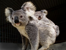Koala bear and baby joey. Mother koala bear with baby joey on her back. Phascolarctos cinereus stock images