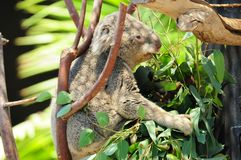 Koala Bear - Just laid back... The koala Phascolarctos cinereus is an arboreal herbivorous marsupial native to Australia. This one resides at the San Diego Zoo stock photography