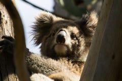 Koala Bear. (latin Phascolarctos cinereus)looking sitting in a tree Stock Images