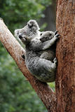 Koala Bear Mother And Baby. Sitting On Tree, Australia royalty free stock photo