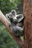 Koala Bear Mother And Baby. Sitting On Tree, Australia Stock Image